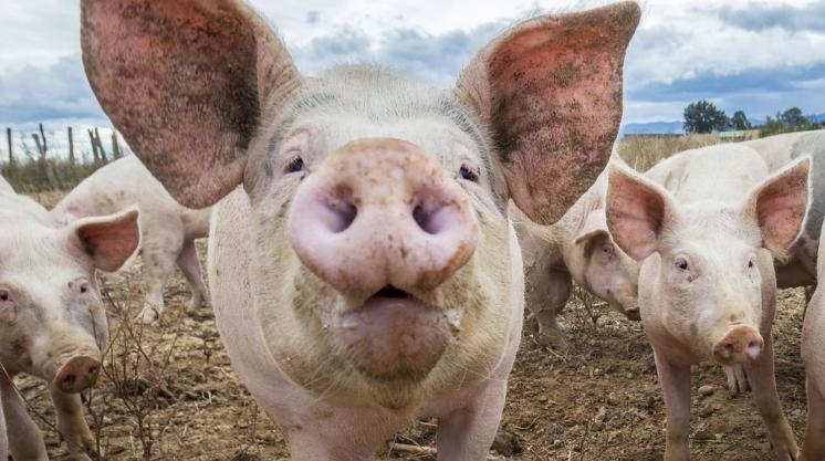 Din cauza pestei, inspectorii DSVSA pun picioru'n prag: fără porci crescuți în extravilan