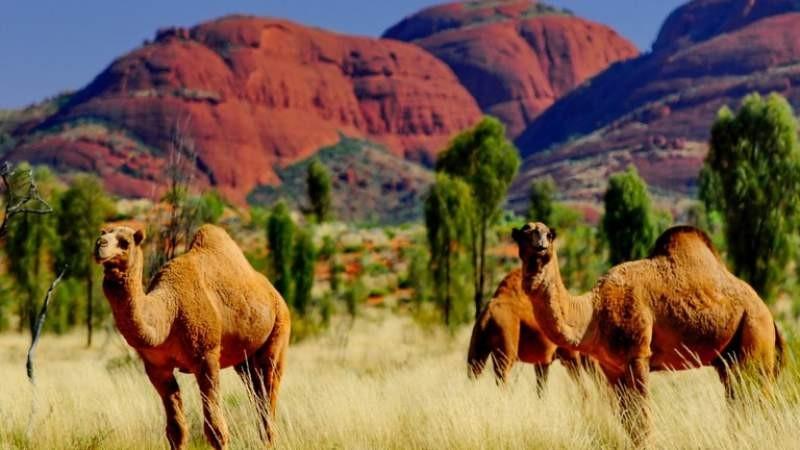 Peste 10.000 de cămile vor fi împușcate în zonele afectate de secetă din Australia
