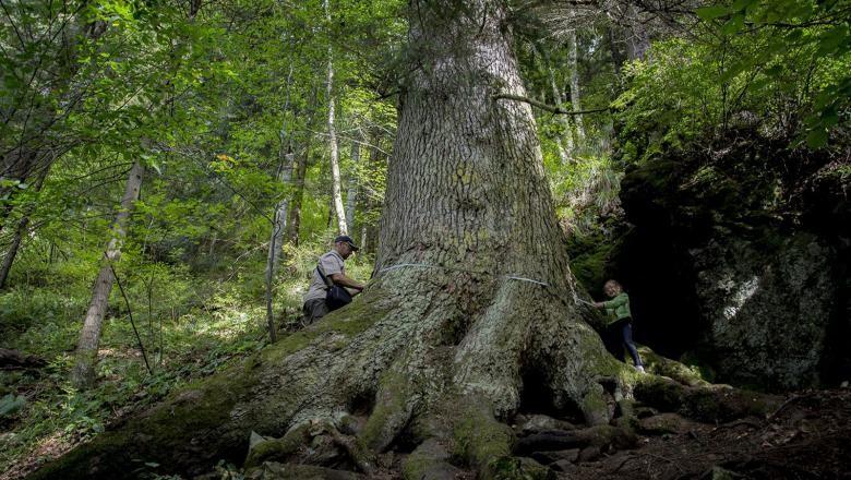 Un brad de pe vremea lui Mihai Viteazul, în lupta pentru titlul de arborele european al anului 2020