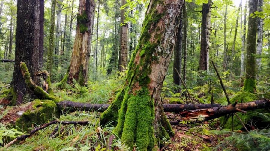 Pădurile seculare din România intră sub protecție la nivel național