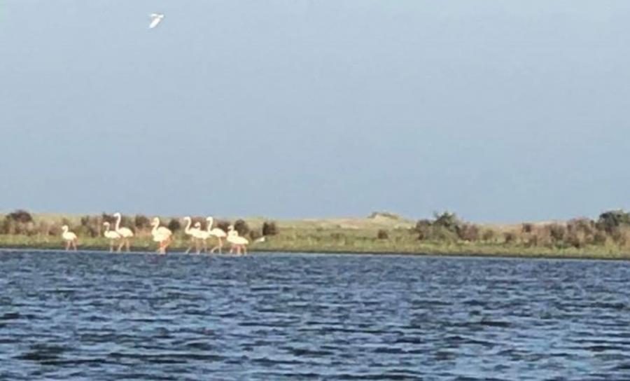 Zece exemplare de păsări Flamingo, cel mai numeros grup observat în ultimul secol în Delta Dunării