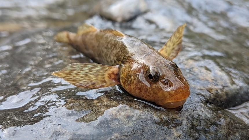 Aspretele, peştele fosilă vie aflat în pragul dispariției, a reapărut într-un râu din România