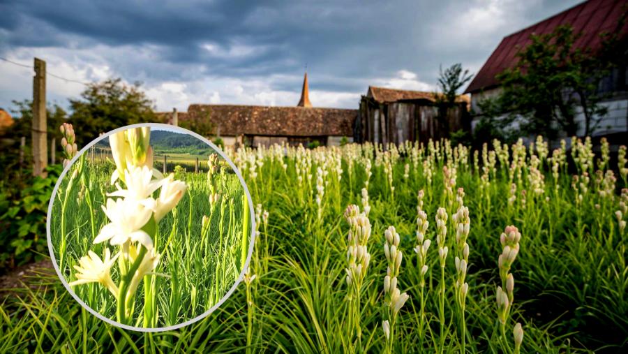 Tuberoza de Hoghilag, prima floare din România şi a treia din Europa protejată la nivel european