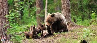 Guvernul încearcă din nou să numere urșii. Proiectul prevede achiziția de garduri electrice și un centru de monitorizare cu drone